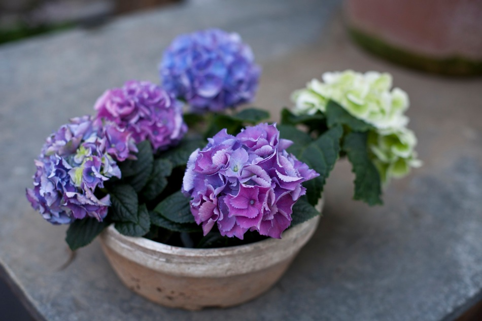 Clifton Nurseries - hydrangeas