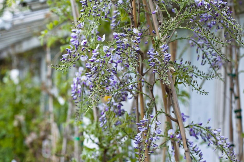Clifton Nurseries - lilac